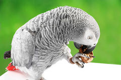 Gray parrot Jaco eating walnuts Royalty Free Stock Images