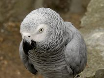 Gray parrot. Looking at you Stock Photo