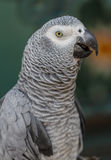 Gray parrot macaw. Stock Images