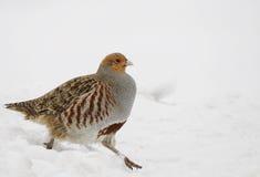 Gray Partridge Fotografia Stock Libera da Diritti