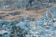 Gray partridge bird mountains Stock Photos