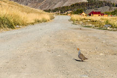 Gray partridge bird mountains Royalty Free Stock Images