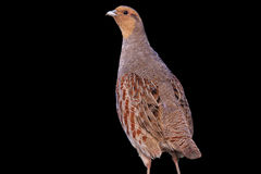 Gray partridge isolated on a black background Royalty Free Stock Photos