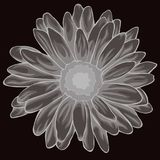 Gray pastel colored chamomile. Colored and lined chamomile flower Royalty Free Stock Image