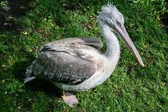 Gray Pelican en la hierba verde fotos de archivo