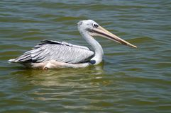 A gray pelican floats on the water. The gray pelican floats along the calm water. Green water. Side view. Portrait in full growth. Close-up. Great beak. The eye Stock Photos
