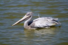 A gray pelican floats on the lake. Green water. Side view. Portrait in full growth. Close-up. Great beak. Waterfowl. Gray feathers. Curved neck. A graceful Royalty Free Stock Photos