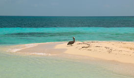 Gray pelican at the Goff s Caye in Belize Stock Photography