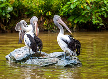 Gray pelican on a rock Royalty Free Stock Images