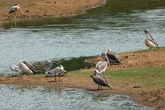 Gray Pelicans in het Nationale Park van Yala in Sri Lanka royalty-vrije stock afbeeldingen
