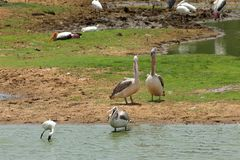 Gray Pelicans in het Nationale Park van Yala in Sri Lanka royalty-vrije stock afbeelding