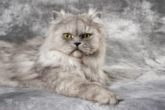 Gray Persian Cat Stock Image