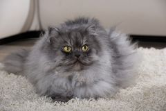 Gray persian cat on a carpet. Adult persian cat lying carpet in a living room stock images