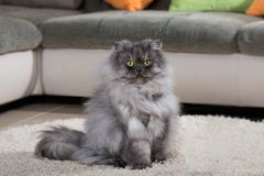 Gray persian cat on a carpet. Adult persian cat sitting on a carpet in a living room stock photo