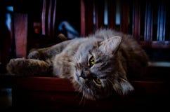 Gray Persian Cat che si trova sulla sedia di legno immagini stock