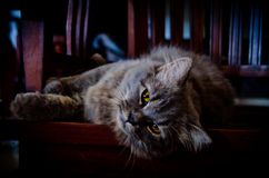 Gray Persian Cat die op de houten stoel liggen stock afbeeldingen