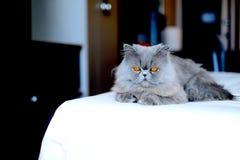Grey Persian Cat. Gray persian cat with orange eyes Stock Image