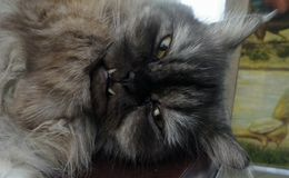 Gray PersianCat with protrude tusk falling to sleep in the warm day Stock Photography
