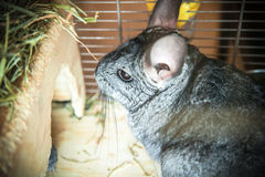 Gray pet chinchilla. Sitting in cage Stock Image