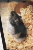 Gray Pet Hamster en el cierre de cristal del acuario encima del clsoe del animal doméstico para arriba foto de archivo