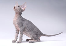 Gray Peterbald cat, Oriental Shorthair Stock Images