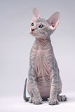 Gray Peterbald cat, Oriental Shorthair Stock Photos