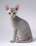 Gray Peterbald cat, Oriental Shorthair Stock Photo