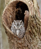 Gray phase Eastern Screech Owl Royalty Free Stock Image