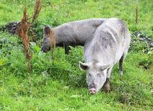 Gray pig and calf. Gray domestic pig and calf Royalty Free Stock Photo