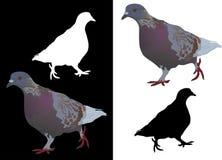 Gray pigeon Stock Image