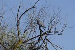 Gray Pigeon. In a tree Stock Photography