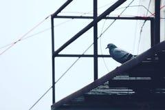 Gray Pigeon on Black Metal Frame Stock Image