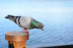Gray Pigeon divertente fotografia stock libera da diritti