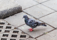 Gray pigeon on the floor Royalty Free Stock Photography
