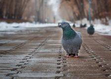 The gray pigeon Royalty Free Stock Photography