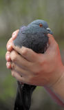 Gray pigeon in hands Stock Image