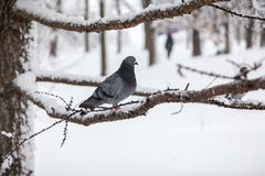 Gray pigeon sitting on branch at winter day Royalty Free Stock Images