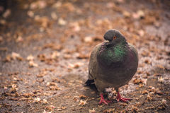 Gray Pigeon Standing on the Ground Royalty Free Stock Image