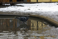 Gray pigeon standing in a puddle, bird, spring Stock Images