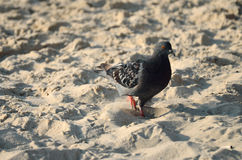 Gray pigeon. Walks on sand Royalty Free Stock Images