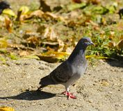 Gray pigeon wonders where to go. Gray pigeon is walking through the garden and looks at what`s happening Royalty Free Stock Photos