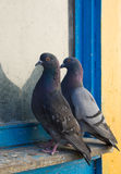 Gray Pigeons. Close-up of gray pigeons couple sitting on the window Stock Photo