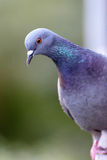 Gray pigeons Royalty Free Stock Photos