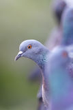 Gray pigeons Stock Photography