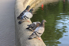 Gray pigeons on concrete wall Royalty Free Stock Image