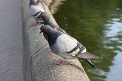 Gray pigeons on concrete wall Stock Photo