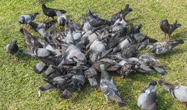 The gray pigeons are flighting for eating on grass in park Stock Images
