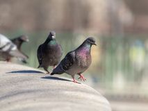 Gray pigeons in the foreground Stock Images