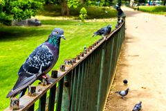 Gray pigeons in park Royalty Free Stock Images