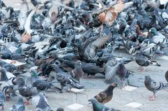 Gray pigeons on the street. Searching for food royalty free stock image